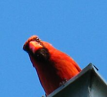 "Canadian ""Baseball cap"" Cardinal by MarianBendeth"