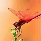 Urpthemis assignate - RED BASKET ( The ballerina ) by Magaret Meintjes