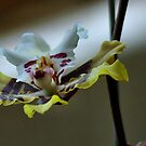 """IN """"SIMPLICITY"""" _ """"THE ONCIDIUM"""" - orchid by Magriet Meintjes"""