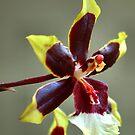 orchid species - ONCIDIUM by Magriet Meintjes