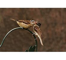 Sharing - Rose Breasted Gross Beaks Photographic Print