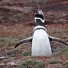 Magellanic Penguin ~ &quot;Sing out loud&quot; by Robert Elliott