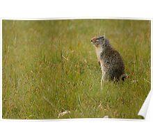 Columbian Ground Squirrel 2 Poster