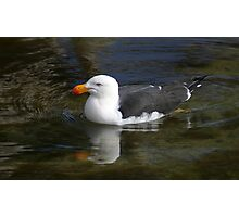 Pacific gull afloat Photographic Print