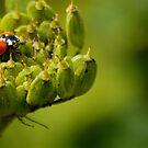 ladybird by kindkurse