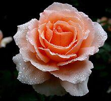 Peach Rose by robmac