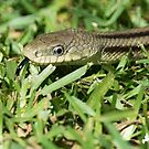 Yellow Rat Snake by TJ Baccari Photography
