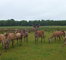 King Of The Herd by altonbear