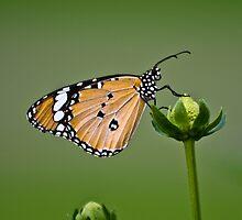 Butterfly In a Sea of Green by Nefar1ous