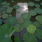 Water Lilies by maka1967