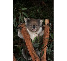 Koala - Australia's Star Performer Photographic Print