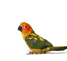 Camy the Sun Conure by Misti Love