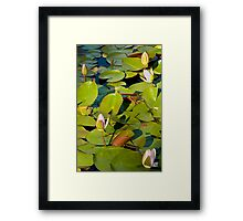 Water Lily II   / Framed Print