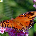 Gulf Coast Fritillary by ClintDMc