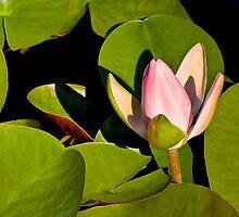 Water Lily III   / by Shelley  Stockton Wynn