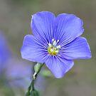 Blue Flax by Teresa Zieba