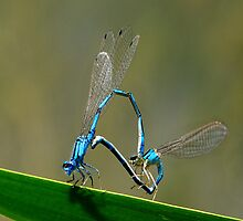Damselfly's doing there thing by Jeffrey  Sinnock