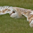 barn owl by cameraman