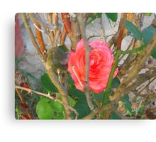 Pink Beauty In the Briar Canvas Print