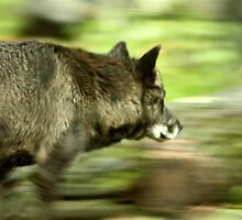 Grey Wolf on the move by tuffcookie