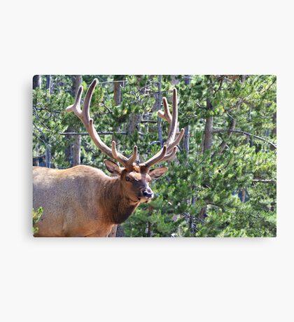 Elk Canvas Print