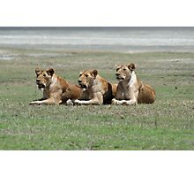 Lioness looking Photographic Print