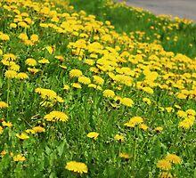 Abundance of Dandelions by karina5