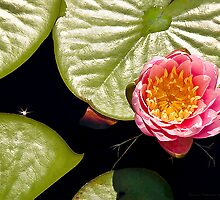 Water Lily IV    / by Shelley  Stockton Wynn