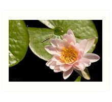 Water Lily V    /    Art Print
