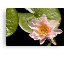 Water Lily V    /    Canvas Print