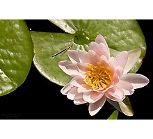 Water Lily V    /    Photographic Print