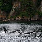 Orcas Surface in Active Pass Gulf Islands by TerrillWelch