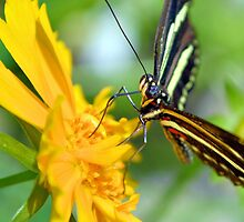 The Zebra Longwing by ©Dawne M. Dunton