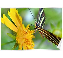 The Zebra Longwing Poster