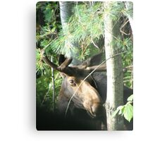 Young Bull Moose Metal Print
