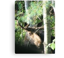 Young Bull Moose Canvas Print