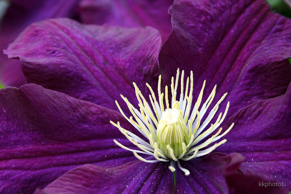 Purple Clematis by kkphoto1