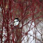 Chickadee in a Red Bush by Alyce Taylor