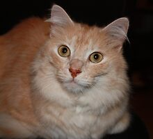 Pretty Turkish Angora