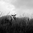 Three Sheep by John Bromley