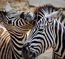 Damara Zebra ........ by jdmphotography