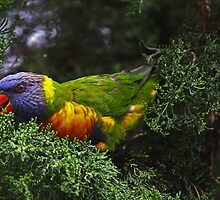 Rainbow Lorikeet by Robert Elliott