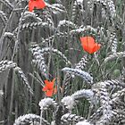 Poppies with Wheat by John Bromley