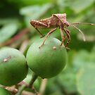 A bug with balls by John Spies