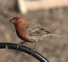 Raspberry Finch by Jarede Schmetterer