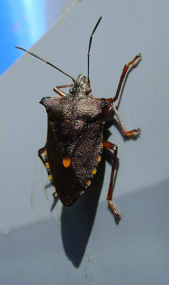 Forest Bug, Pentatoma rufipes by armadillozenith
