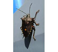 Forest Bug, Pentatoma rufipes Photographic Print