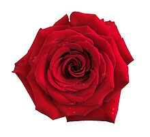 Big red rose flower isolated art photo print by ArtNudePhotos
