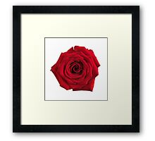 Big red rose flower isolated art photo print Framed Print