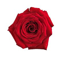 Big red rose flower isolated art photo print Photographic Print